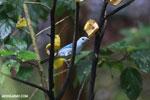 Blue-grey Tanager (Thraupis episcopus) [costa_rica_la_selva_0086]