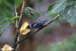 Red-legged Honeycreeper (Cyanerpes cyaneus) [male] [costa_rica_la_selva_0092]