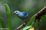 Blue-grey Tanager (Thraupis episcopus) [costa_rica_la_selva_0097]