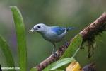 Blue-grey Tanager (Thraupis episcopus) [costa_rica_la_selva_0099]