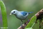 Blue-grey Tanager (Thraupis episcopus) [costa_rica_la_selva_0100]