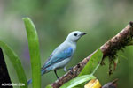 Blue-grey Tanager (Thraupis episcopus) [costa_rica_la_selva_0103]