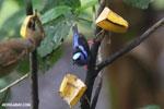 Red-legged Honeycreeper (Cyanerpes cyaneus) [male] [costa_rica_la_selva_0105]