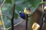 Red-legged Honeycreeper (Cyanerpes cyaneus) [male] [costa_rica_la_selva_0126]