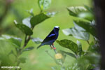 Red-legged Honeycreeper (Cyanerpes cyaneus) [male] [costa_rica_la_selva_0133]