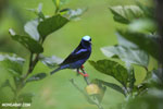 Red-legged Honeycreeper (Cyanerpes cyaneus) [male] [costa_rica_la_selva_0135]
