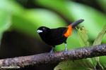 Cherrie's Tanager (Ramphocelus costaricensis) [costa_rica_la_selva_0136]