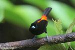 Cherrie's Tanager (Ramphocelus costaricensis) [costa_rica_la_selva_0139]