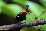 Cherrie's Tanager (Ramphocelus costaricensis) [costa_rica_la_selva_0140]