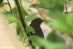 Bird [costa_rica_la_selva_0159]