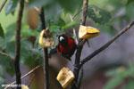 Crimson-collared Tanager (Phlogothraupis sanguinolenta) [costa_rica_la_selva_0163]