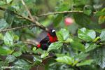 Crimson-collared Tanager (Phlogothraupis sanguinolenta) [costa_rica_la_selva_0167]