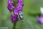 Green-blue bee [costa_rica_la_selva_0173]