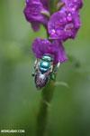 Green-blue bee [costa_rica_la_selva_0176]