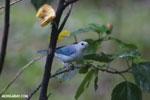 Blue-grey Tanager (Thraupis episcopus) [costa_rica_la_selva_0205]