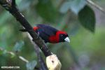 Crimson-collared Tanager (Phlogothraupis sanguinolenta) [costa_rica_la_selva_0224]