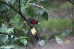 Crimson-collared Tanager (Phlogothraupis sanguinolenta) [costa_rica_la_selva_0225]
