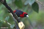 Crimson-collared Tanager (Phlogothraupis sanguinolenta) [costa_rica_la_selva_0226]