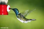 Hummingbird [costa_rica_la_selva_0239]