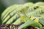 Green basilisk [costa_rica_la_selva_0254]