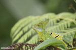 Green basilisk [costa_rica_la_selva_0255]