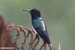 Hummingbird [costa_rica_la_selva_0258]