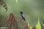 Hummingbird [costa_rica_la_selva_0259]