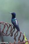 Hummingbird [costa_rica_la_selva_0262]