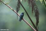 Hummingbird [costa_rica_la_selva_0264]