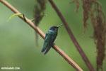 Hummingbird [costa_rica_la_selva_0266]