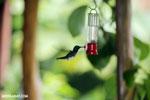 Hummingbird [costa_rica_la_selva_0268]