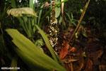 White fungi [costa_rica_la_selva_0306]
