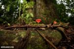 Red cup mushroom [costa_rica_la_selva_0310]