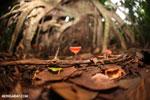 Red cup mushroom (Cookeina speciosa) [costa_rica_la_selva_0314]