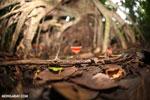 Red cup mushroom (Cookeina speciosa)