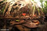 Red cup mushroom (Cookeina speciosa) [costa_rica_la_selva_0319]