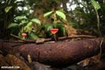Red cup mushroom (Cookeina speciosa) [costa_rica_la_selva_0324]