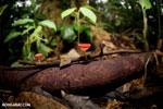 Red cup mushroom (Cookeina speciosa) [costa_rica_la_selva_0327]