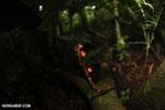 Red cup mushroom (Cookeina speciosa) [costa_rica_la_selva_0331]