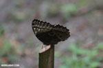 Blue morpho butterfly [costa_rica_la_selva_0353]