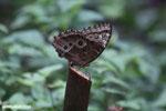 Blue morpho butterfly [costa_rica_la_selva_0359]