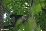 White-Faced Capuchin Monkey (Cebus capucinus) [costa_rica_la_selva_0365]