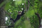 White-Faced Capuchin Monkey (Cebus capucinus) [costa_rica_la_selva_0369]