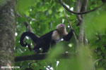 White-Faced Capuchin Monkey (Cebus capucinus) [costa_rica_la_selva_0376]