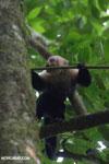 White-Faced Capuchin Monkey (Cebus capucinus) [costa_rica_la_selva_0379]