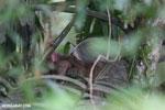 Three-toed sloth [costa_rica_la_selva_0437]