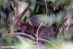 Three-toed sloth [costa_rica_la_selva_0438]
