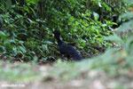 Great Curassow (Crax rubra) [male] [costa_rica_la_selva_0441]