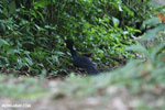 Great Curassow [male]