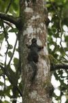 Squirrel [costa_rica_la_selva_0444]